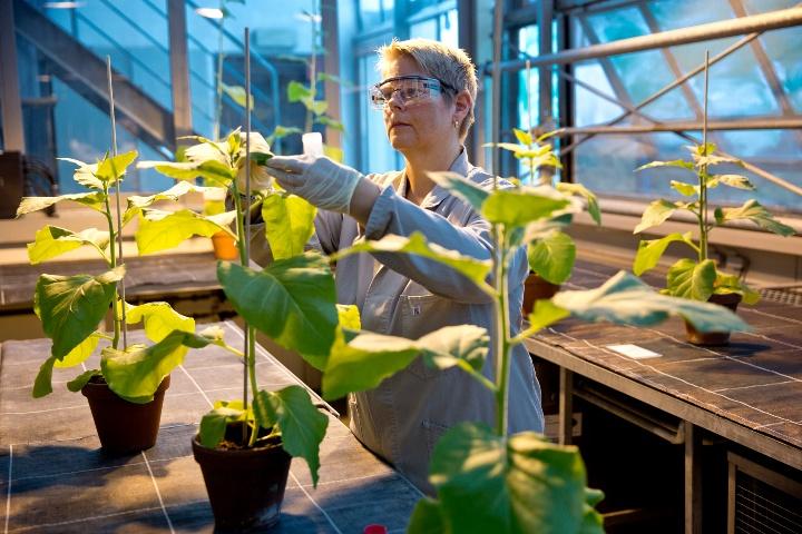 Wissenschaftlerin bei der Untersuchung von Tabakpflanzen. (c)