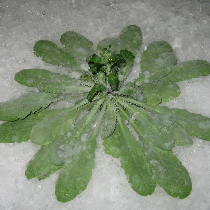Pflanze im Schnee