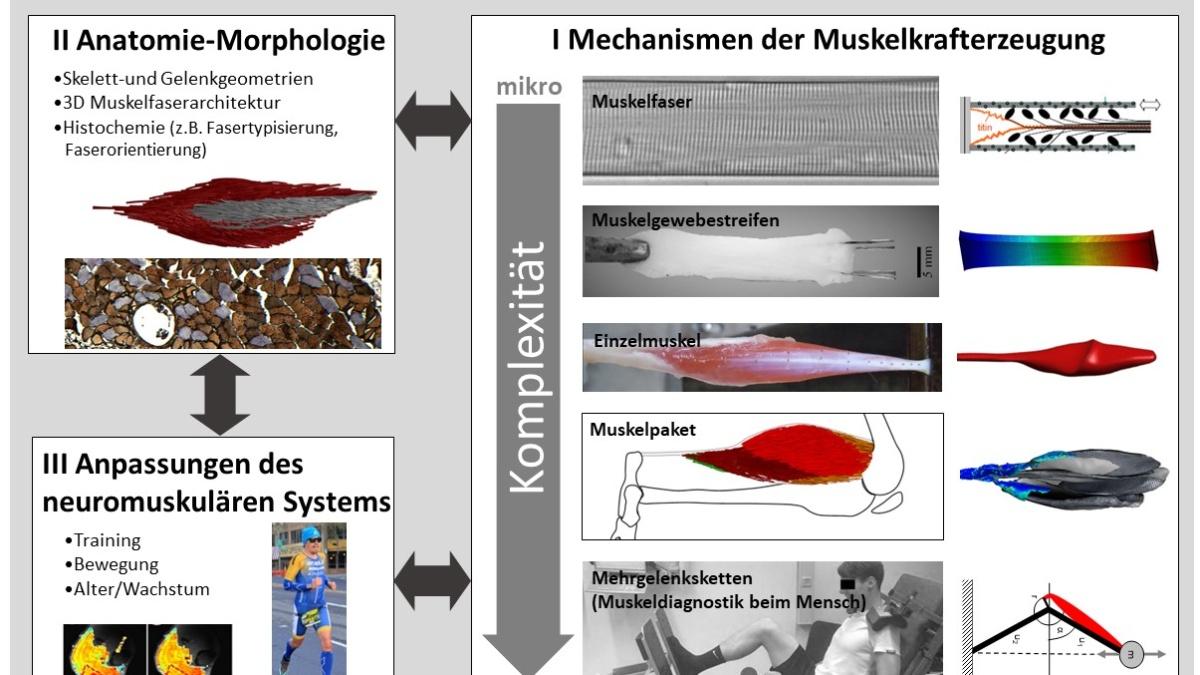 Überblick der Forschungsschwerpunkte zum neuromuskulärem System.