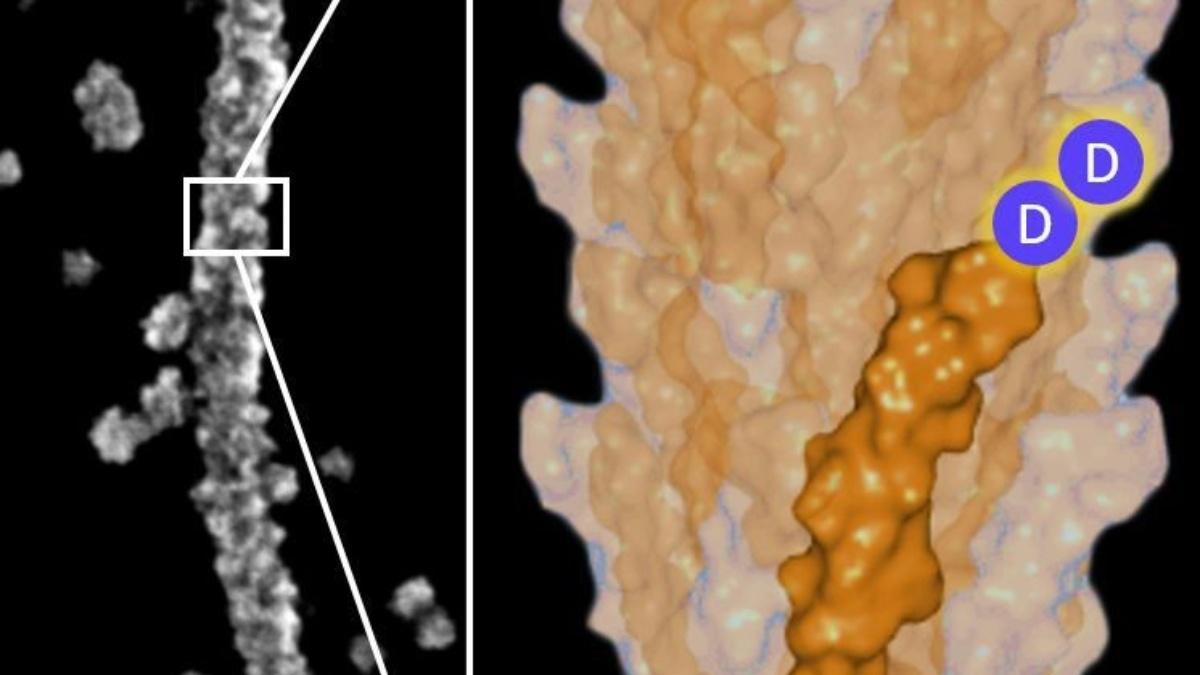 1000-mal dünner als ein Haar: Piezoaktive Nanodrähte. Zinkoxid Nanodraht (~60 nm), der ein Virus als Gerüst hat (links). Durch die gentechnische Modifikation des Virus (rechts), wird die Piezoaktivität induziert. Maßstab 200 nm.
