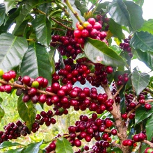 Red fruits of a coffey plant