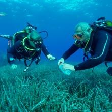 Taucher sammeln Blätter des Neptungrases (Posidonia oceanica) in der Bucht von Calvi auf Korsika.