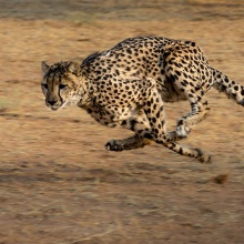 Animals that are perfectly adapted to sprint, such as cheetahs, have a slim body, long legs, and a particularly flexible spine to achieve very high running speeds.
